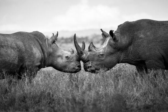 Close up of two endangered rhino touching horns