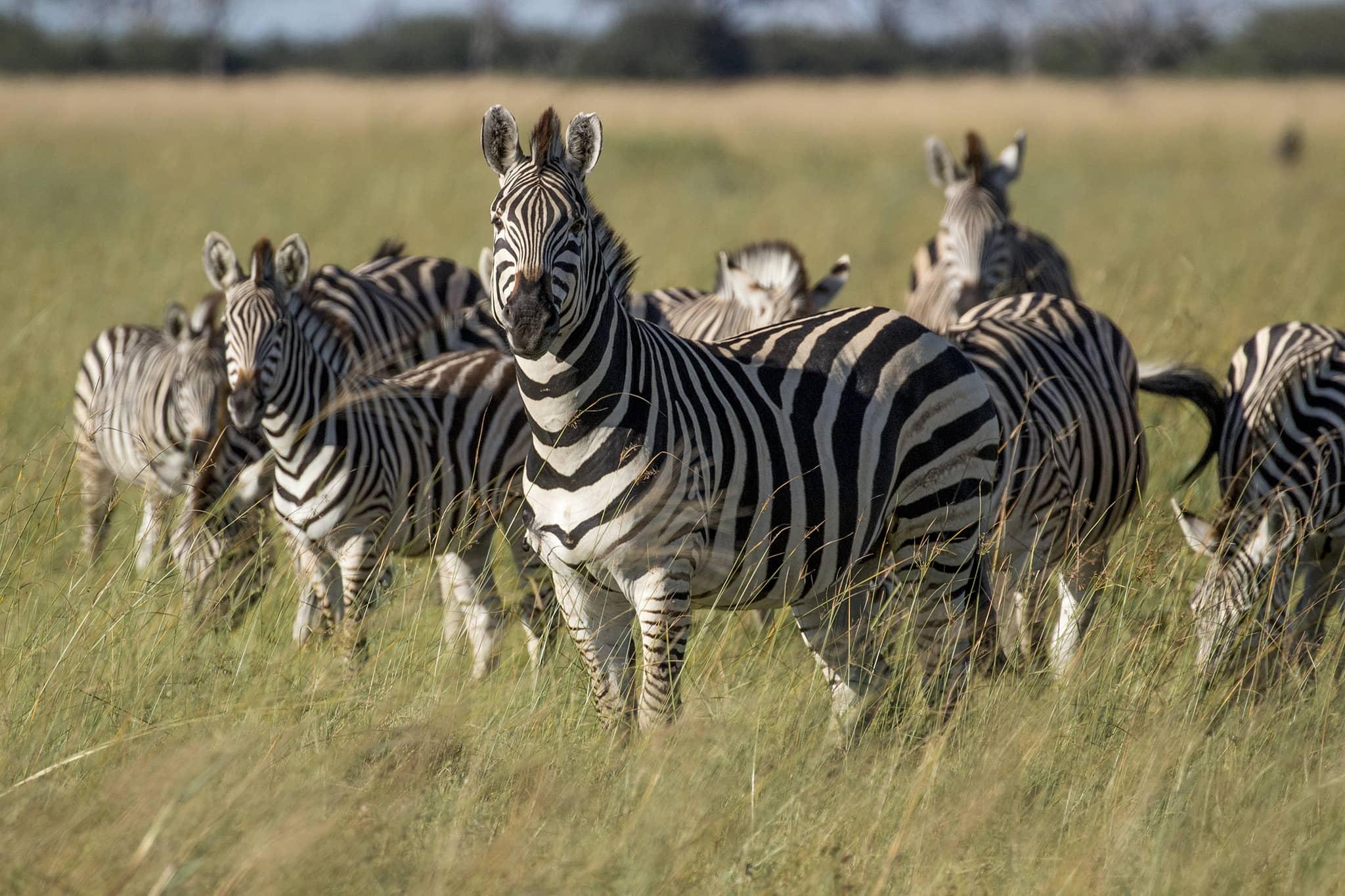 zebras standing in Botswana's Moremi Game Reserve, Okovango Delta