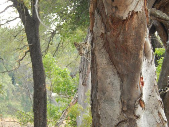 A Leopard peers from behind a tree trunk