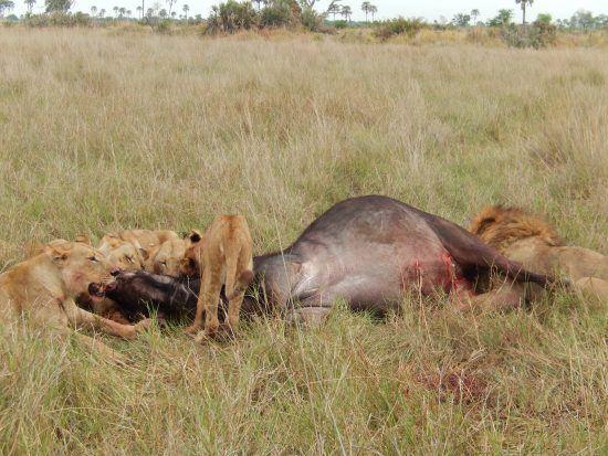 Lion pride eating a Cape Buffalo in the Okavango Delta