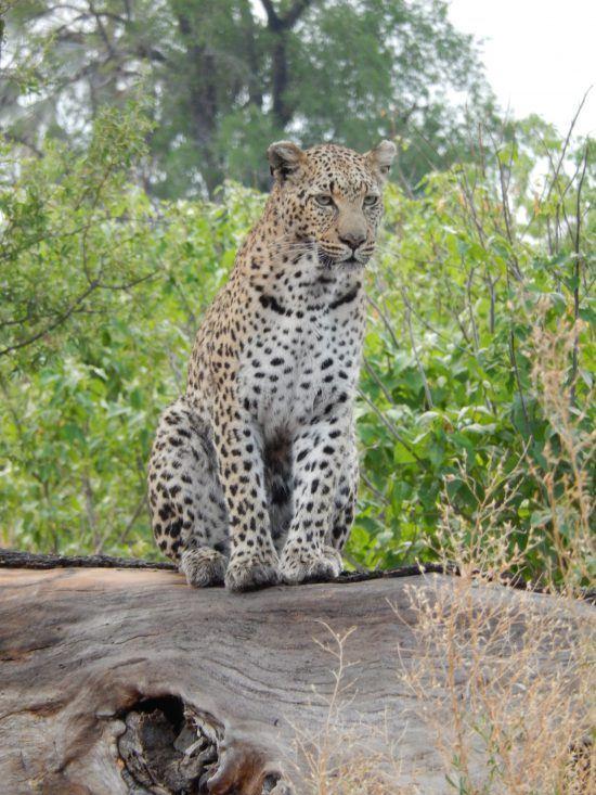 Leopard on a rock in the Okavango Delta