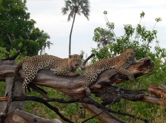 Leopard brothers on a branch in the Okavango Delta
