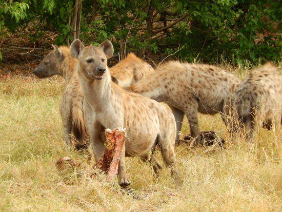 Hyena in the Okavango Delta