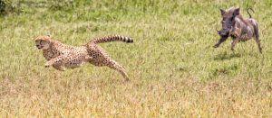 Guepardo e javali na savana africana