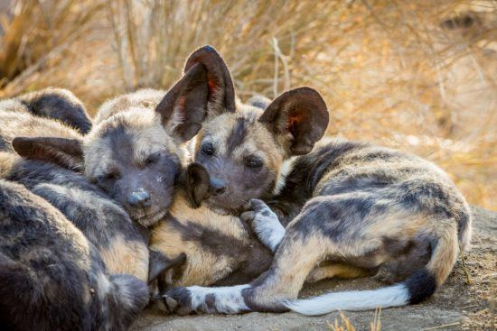Junge Wildhunde entspannen