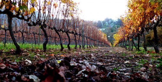 The vineyards during Autumn in Groot Constantia
