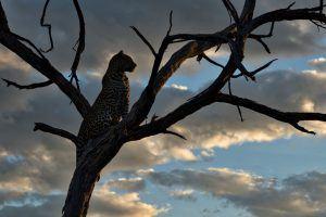 Léopard sur un arbre au crépuscule dans la savane en Afrique