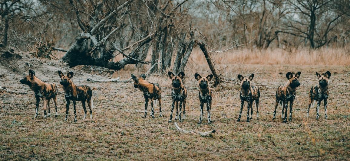 Was ist der Unterschied zwischen Hyänen und Wildhunden? | Rhino ...