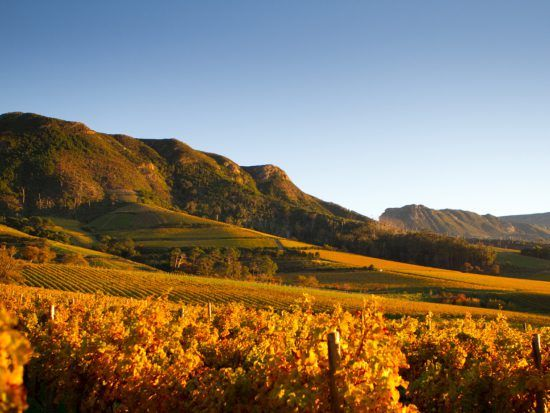 The vineyards at sunrise at Klein Constantia