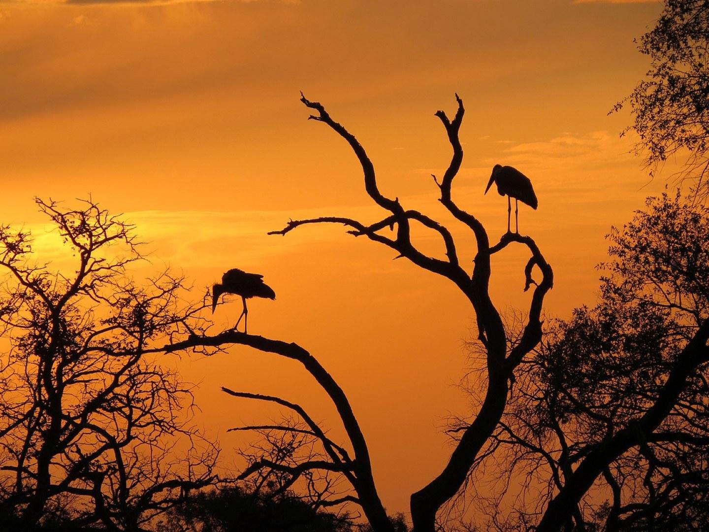 Marabus bei Sonnenuntergang