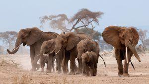 Famille d'éléphants dans la savane au Kenya