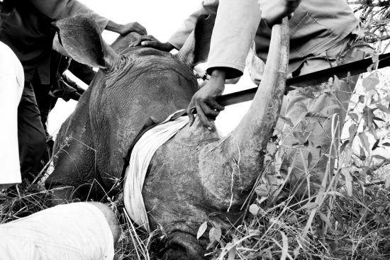 Nashorn wird umgesiedelt