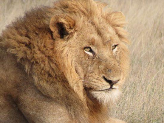 Ein männlicher Löwe mit beeindruckender Mähne liegt im Gras