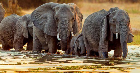 Elefantenfamilie durchquert einen Fluss