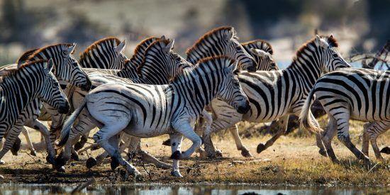 Zebras überqueren einen Fluss