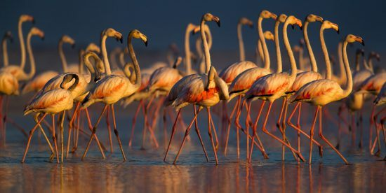 Flamingos bei Sonnenuntergang