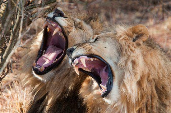 Zwei Löwen reißen die Mäuler auf