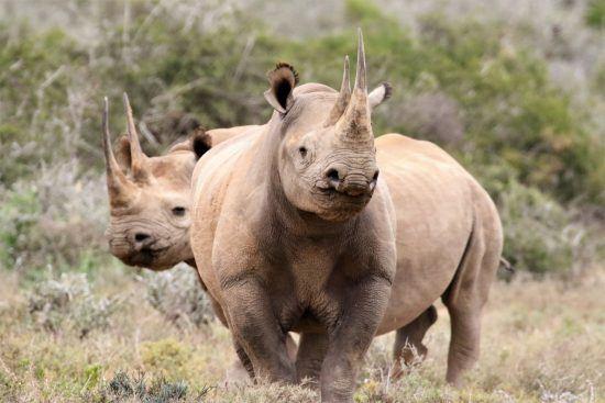 Spitzmaulnashörner im Busch - vom Aussterben bedrohte Tiere in Afrika