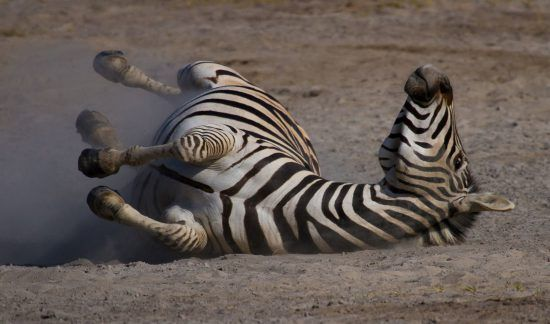 Zebra tollt herum