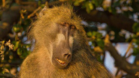 Schlummernder Affe