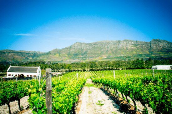 Green vineyards at Constantia Uitsig