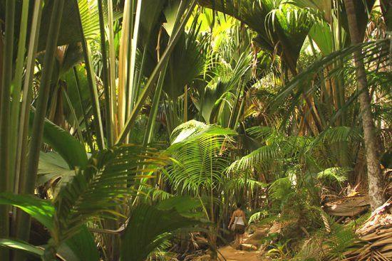 Der grüne Regenwald im Vallée de Mai, Seychellen