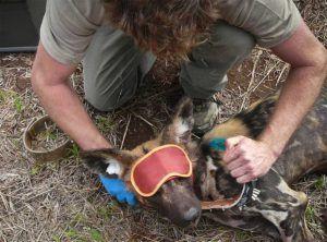L'association Wildlife Act en pleine action de sauvetage d'un chien sauvage - espèce ménacée - coincé dans un piège humain.