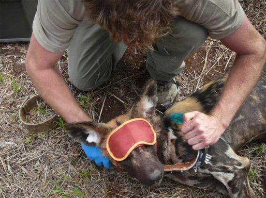 Ein Mitarbeiter von Wildlife ACT kümmert sich um einen Afrikanischen Wildhund
