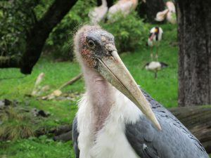 Marabout d'Afrique, oiseau majestueux d'Afrique.