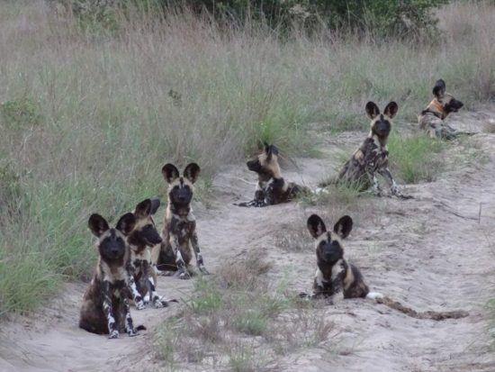 Tribu de petits lycaons ou chiens sauvages d'Afrique en Afrique.