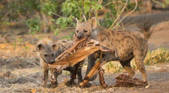 Baby-Hyänen am fressen