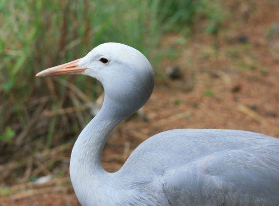 A close up of a blue crane in South Africa