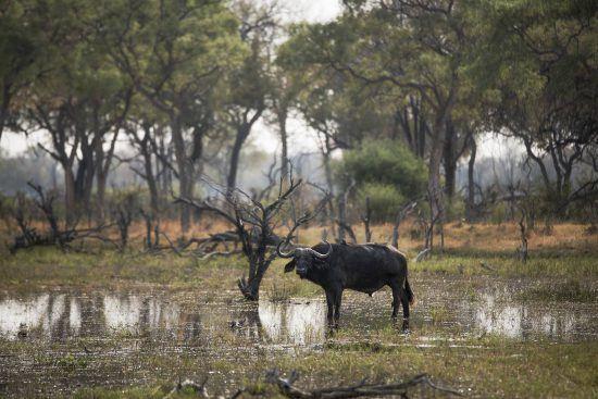 Búfalo en los amaneceres de Botsuana