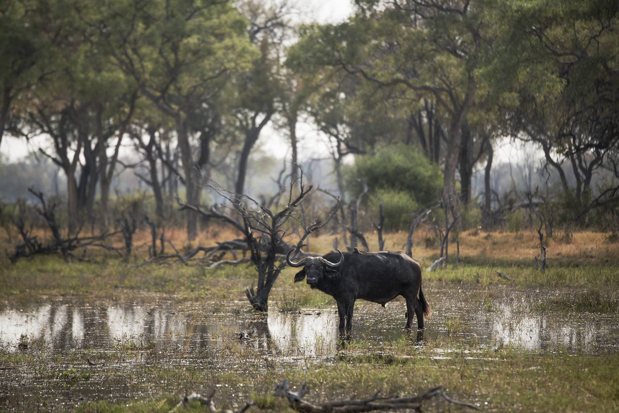 buffalo water Vumbura Plains Okavango Delta Botswana