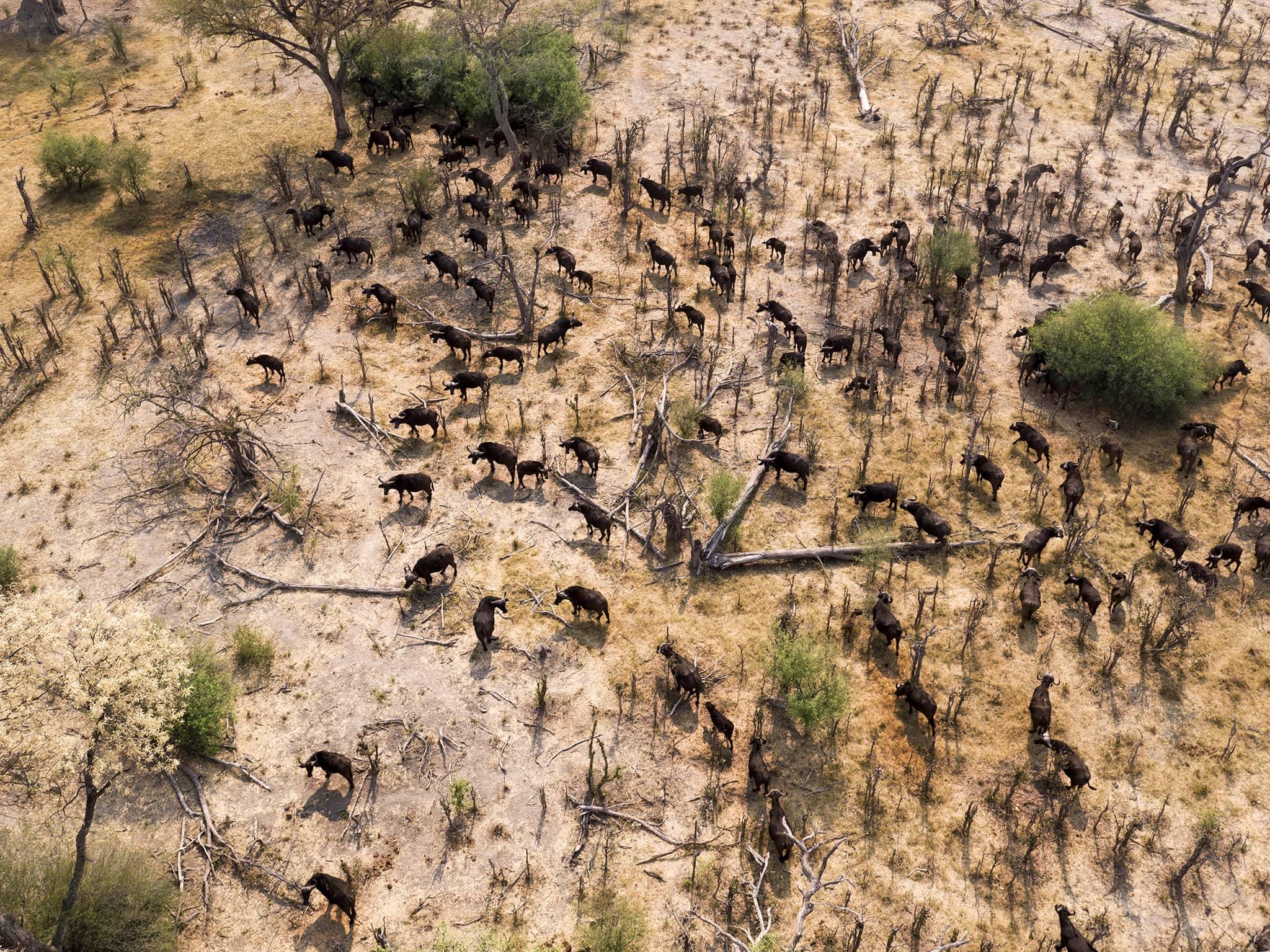 Buffalos drone Vumbura Plains Okavango Delta Botswana