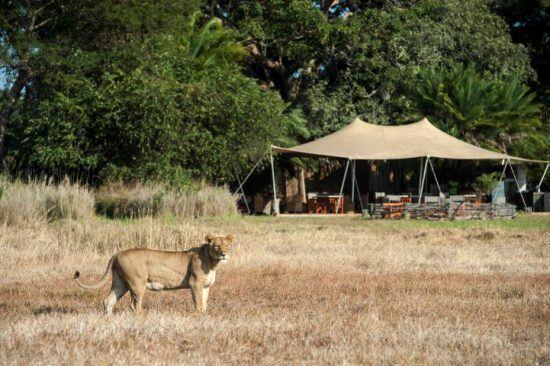 Eine Löwin in der Graslandschaft vor dem Busanga Bush Camp in Sambia