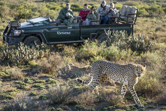 Avistamiento de guepardos en la Reserva de Animales Kwandwe