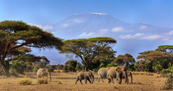 Eine Herde Elefanten in der Savanne mit dem schneebedeckten Kilimanjaro im Hintergrund
