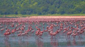 Lac Manyara en Tanzanie et le spectacle de centaines de flamants roses.