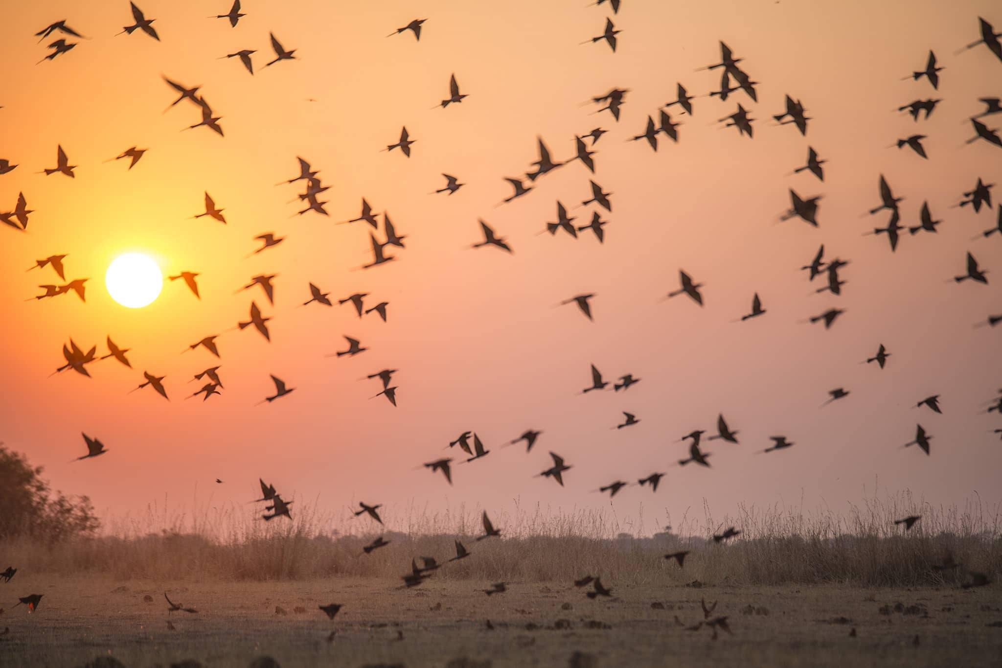 Flock of birds at sunset - Kings Pool Botswana