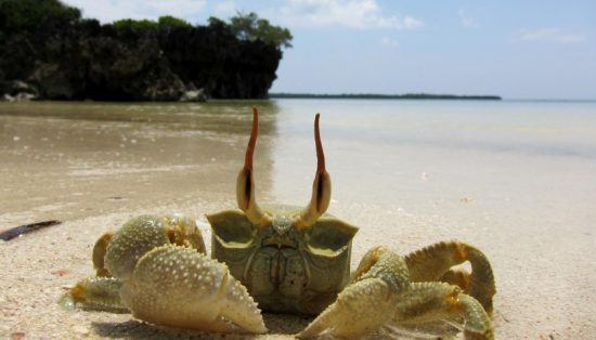 Krabbe Pemba
