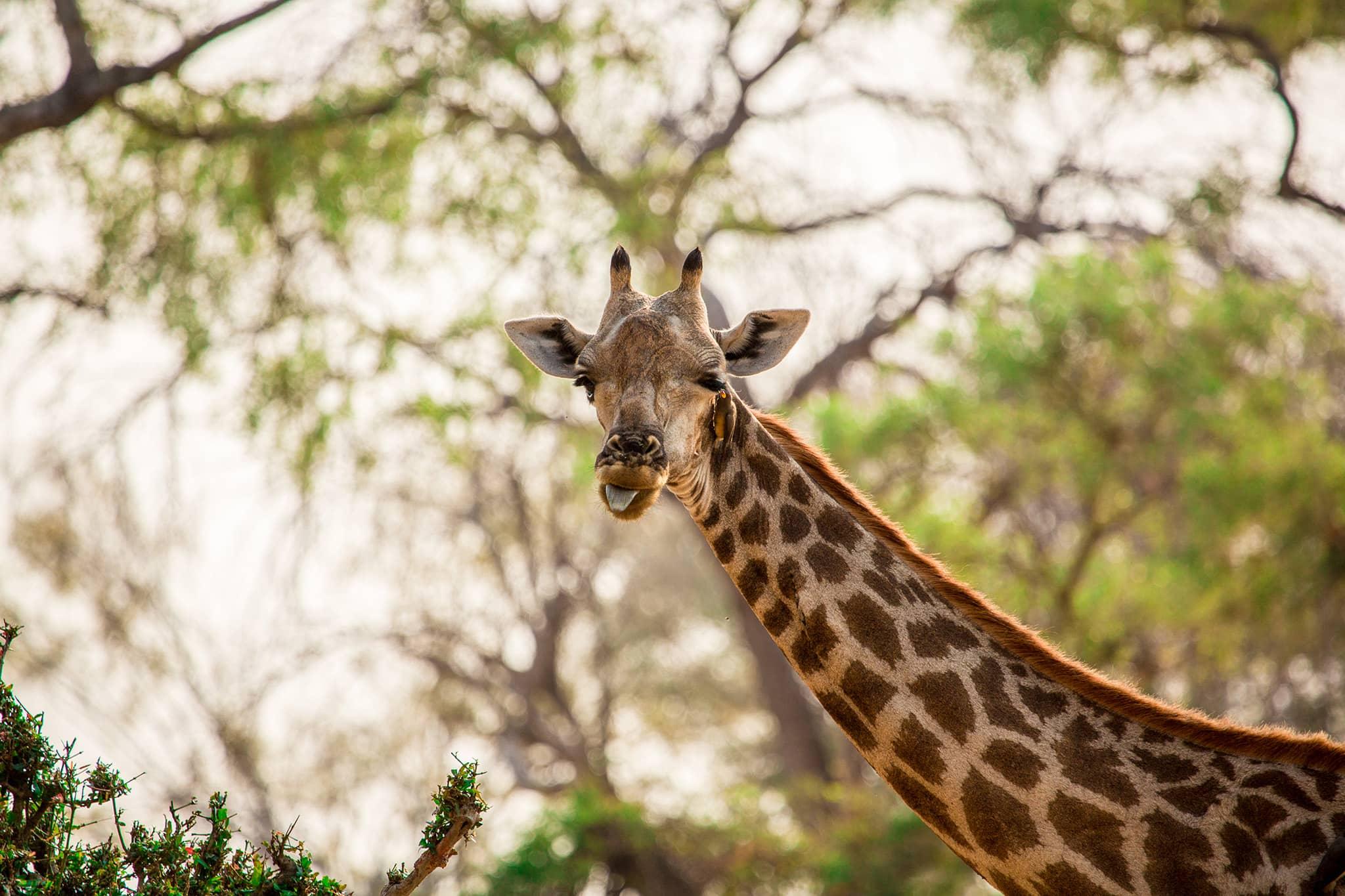 giraffe funny Mombo Camp Okavango Delta Botswana