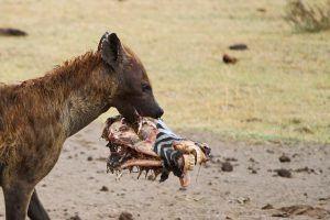 La hyène prend la fuite après avoir volé la tête d'une charogne de zèbre dans la savane Africaine.