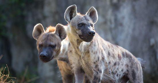 Las hienas conviven en complejas manadas matriarcales.