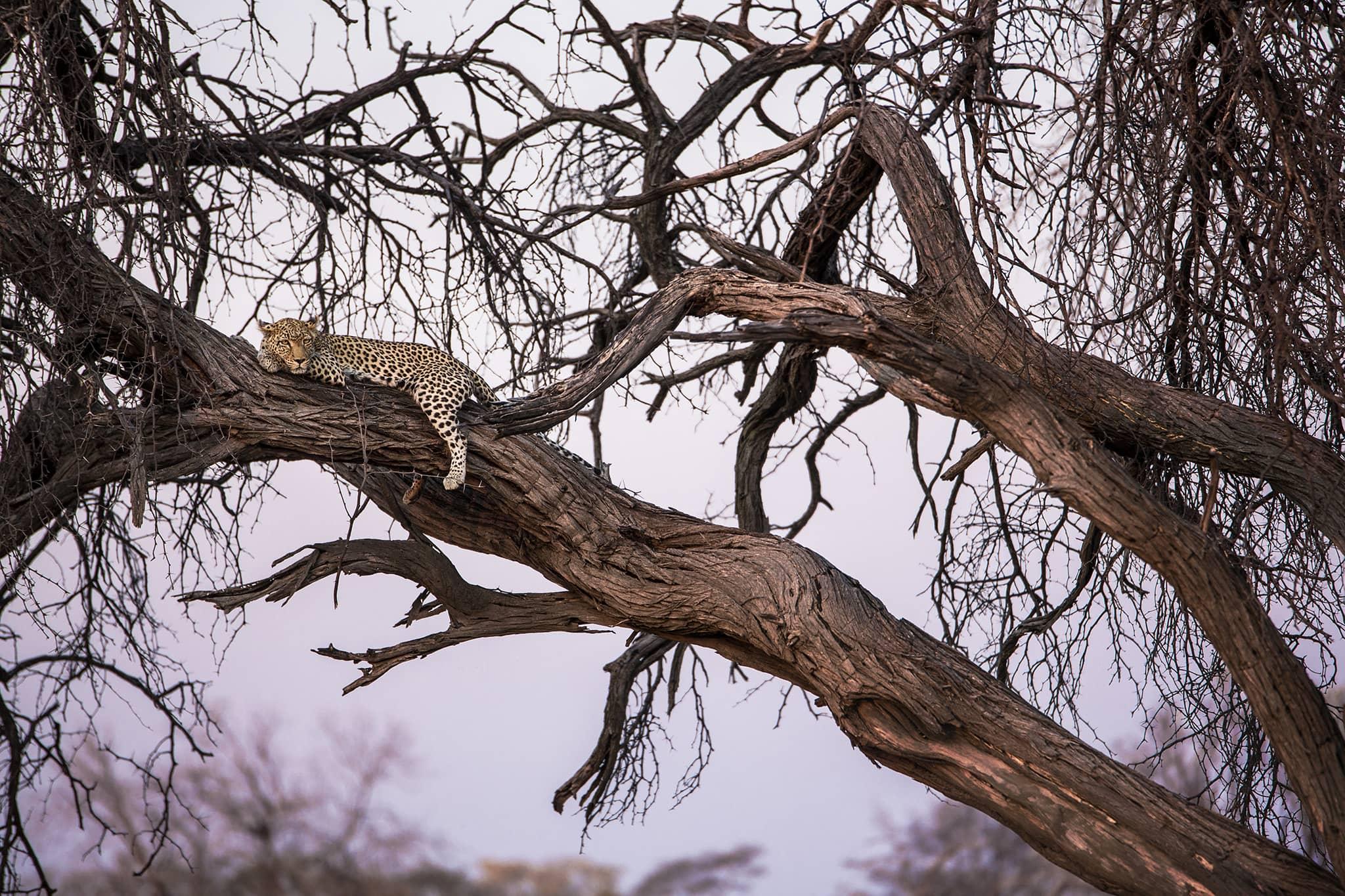 leopard laying tree Machaba Camp Botswana Khwai