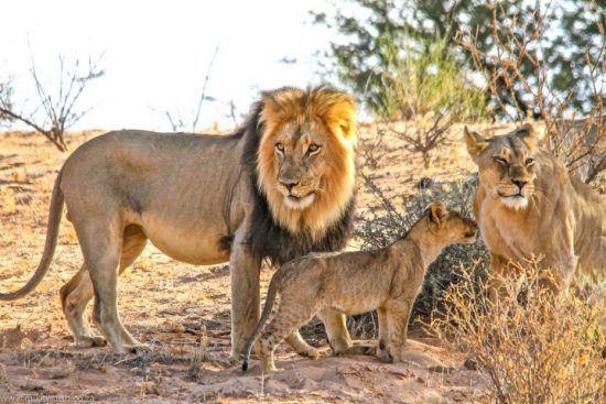 Eine Löwenfamilie in der Savanne