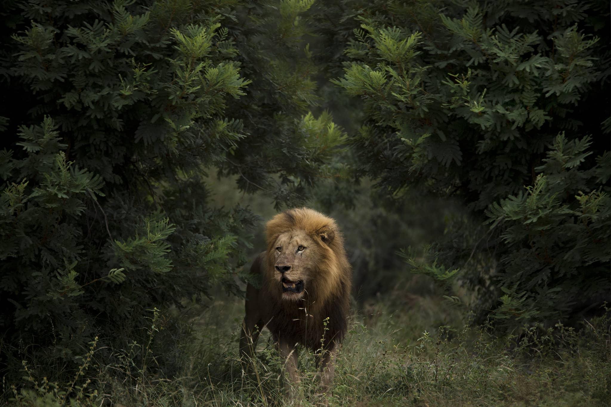male lion emerge from tree Mombo Camp Okavango Delta Botswana