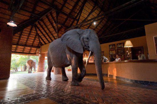 Eine Elefantenherde läuft durch die Lobby einer Lodge in Sambia