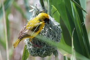 Oiseau tisserand travailleur au nid Parc Kruger Afrique
