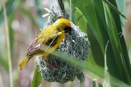 Fleißiger Webervogel beim Nestbau